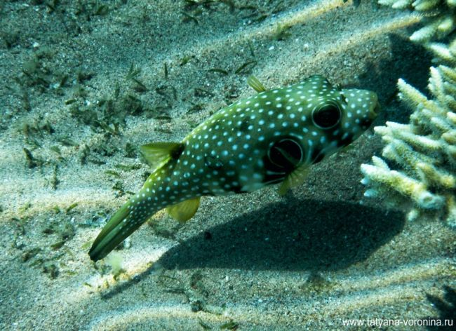 White-Spotted Puffer Fish.