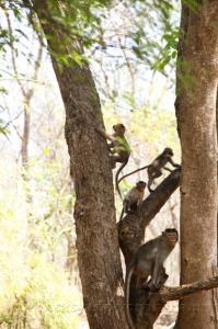 Повсюду обезьяны!